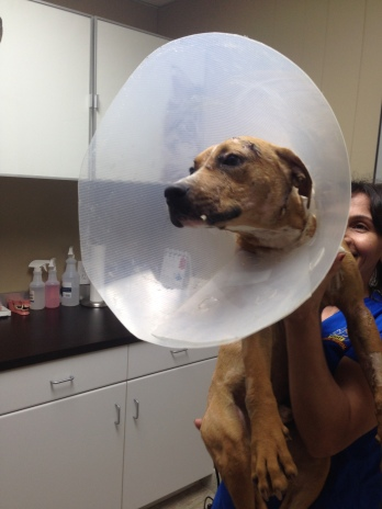 After rescue, Dash was at the vet for 7 days. Had to have drains inserted, neutered and all cleaned up.